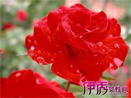 黑蔷薇的花语 蔷薇的传说