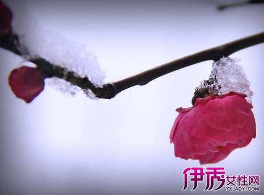 【冬天红梅花雪景图片】【图】冬天红梅花雪景图片