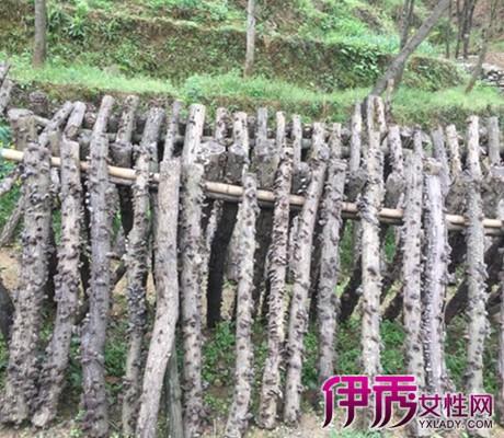 【图】黑木耳种植技术详解 教你用段木栽培技术种植出优质木耳