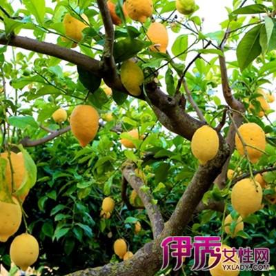【图】柠檬树图片大全 教你如何种植柠檬树