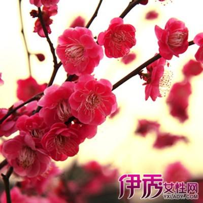 【雪中红腊梅花图片】【图】雪中红腊梅花图片欣赏