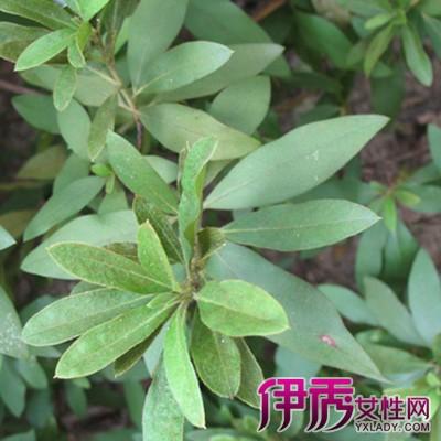 【双子叶植物】【图】双子叶植物图片欣赏