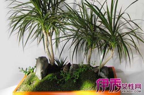 学名香龙血树,别名巴西铁树,为百合科龙血树属植物.