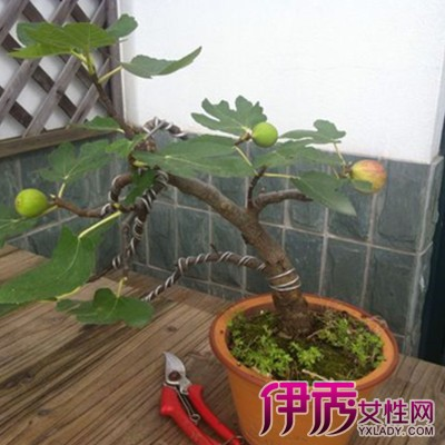 【图】盆栽无花果种植方法介绍 无花果有什么特点