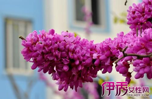 【图】紫荆树主要品种有哪些 有什么观赏价值和应用价值