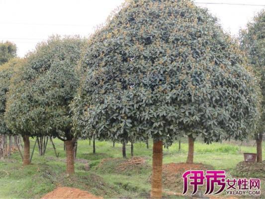 【图】到底哪种桂花树最值钱 丹桂最显富贵相