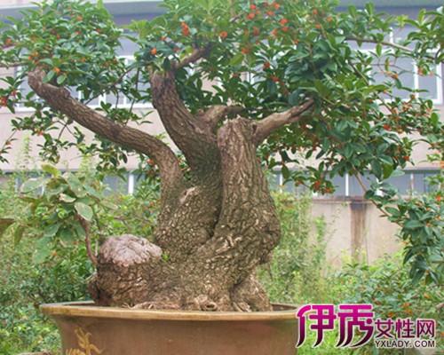 【图】桂花树盆景图片欣赏 十大妙招教你培育桂花盆景