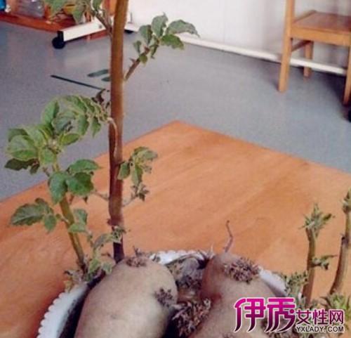 【图】土豆盆栽水培都泡水里么 5个水培土豆小窍门教给你