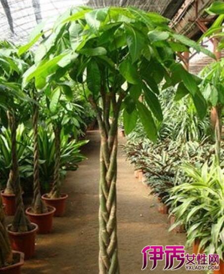 【图】发财树怎么养殖呢 教你如何正确养殖发财树