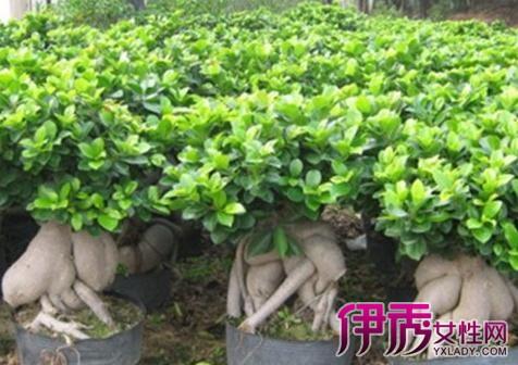 【图】绿色叶子盆栽植物名字 为你推荐几大品种