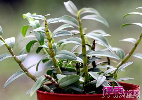 【盆栽铁皮石斛种植方法】【图】盆栽铁皮石斛种植