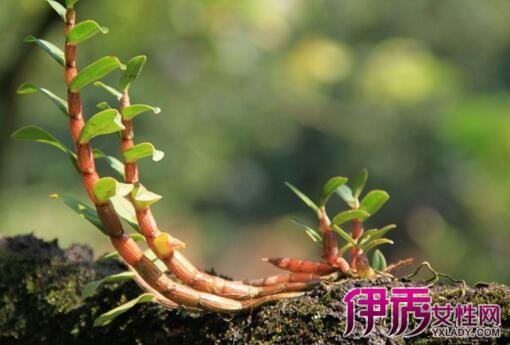 【图】盆栽铁皮石斛种植方法介绍