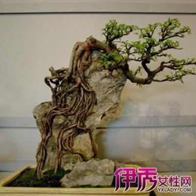 附石式盆景反映了树木生长在石上的自然风貌