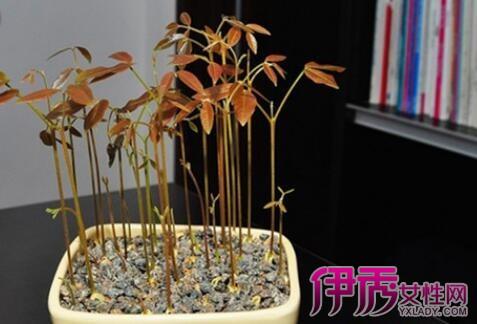 【图】龙眼树盆景图片展示 详细介绍其种植方法