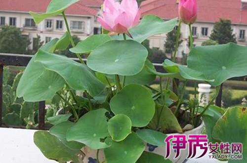 【图】睡莲的种植方法水培方式步骤分哪几种 要注意的事项是什么