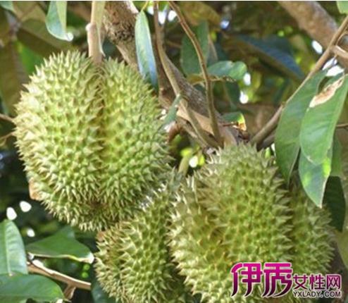 【图】榴莲树长什么样子是优良品种? 小编教你榴莲的繁殖技术