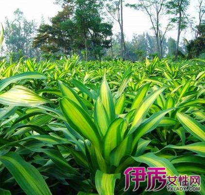 【图】活力绿色叶子植物盆栽 揭秘其培植技术
