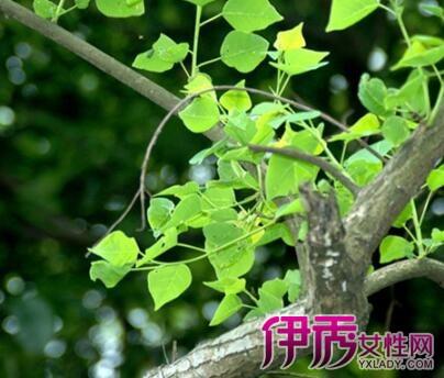 【云南乌木树树叶图片】【图】云南乌木树树叶图片