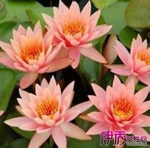 【图】水培睡莲的种植方法 光线充足决定了睡莲能否种的活种的好