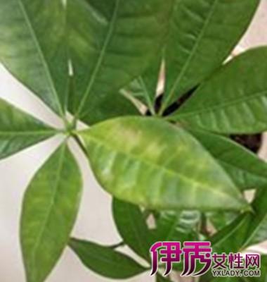 【图】发财树叶子发黄掉落怎么办 叶子发黄的原因是什么