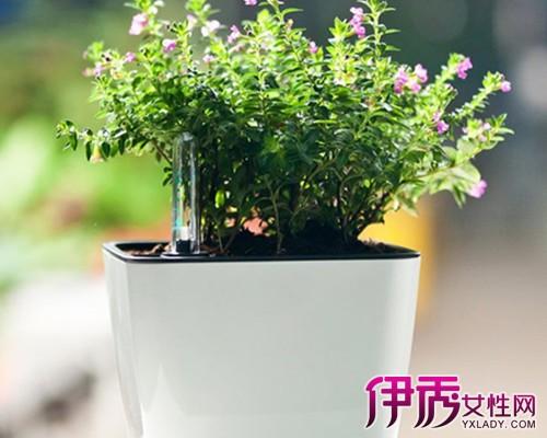 盆栽满天星的养殖方法和注意事项