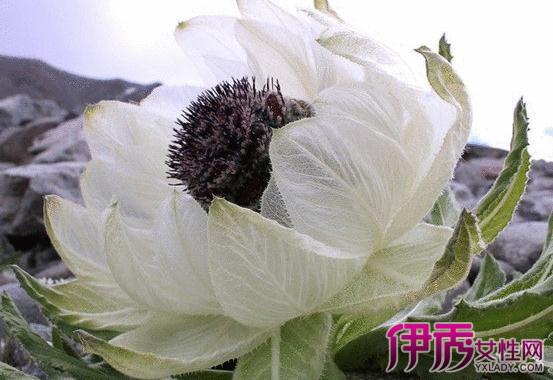 新疆天山雪莲花图片介绍 揭示雪莲花的3种功效与作用