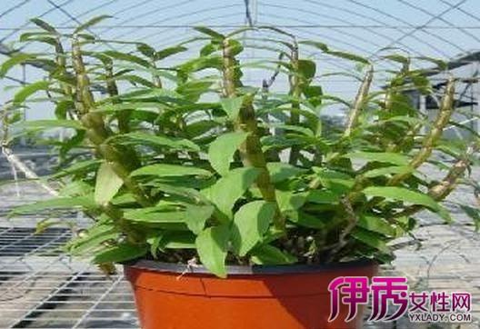 第三:盆栽铁皮石斛的注意事项