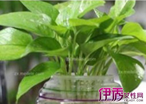 水培绿萝叶子发黄是什么原因 告诉你绿萝养殖方法和注意事项
