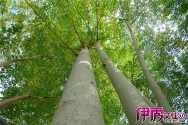 【辣木盆栽图】【图】辣木盆栽图欣赏