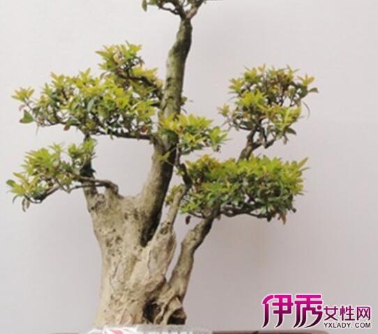 它的制作艺术,最要紧的是掌握各种树木的生物学特性