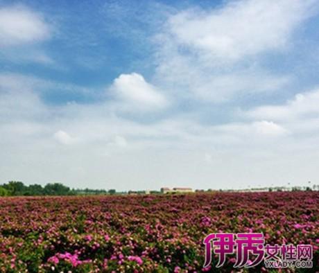 【图】红玫瑰花海图片欣赏