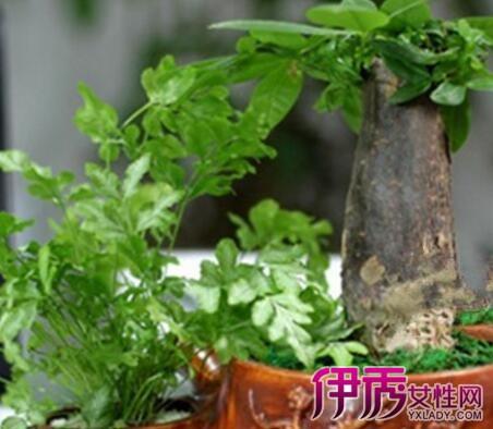 【图】发财树怎么养容易发芽 介绍发财树养护方法大全
