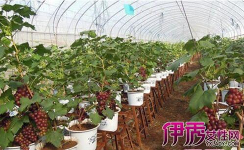 【图】盆栽葡萄种植技术有哪些 教你在家如何吃到自家葡萄