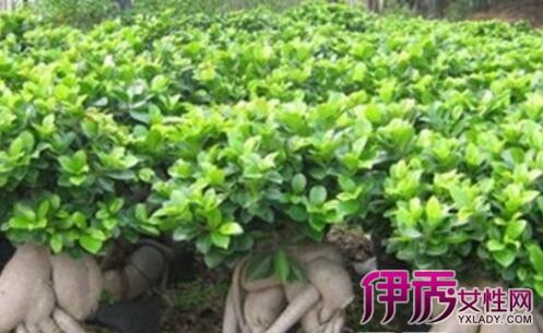 室内养什么大型植物好——幸福树 幸福树一般就是指菜豆树,它的根叶