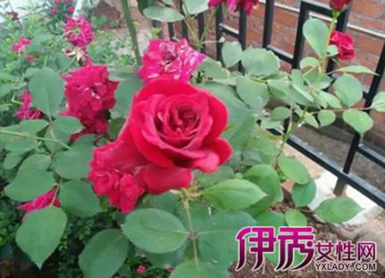 【玫瑰花开花时间】【图】玫瑰花开花时间揭晓