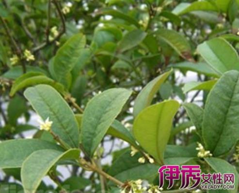 【桂花树的外形特征】【图】揭秘桂花树的外形