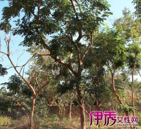 【海南黄花梨树木图片】【图】海南黄花梨树木图片