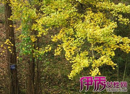 【银杏树图片】【图】银杏树图片大全