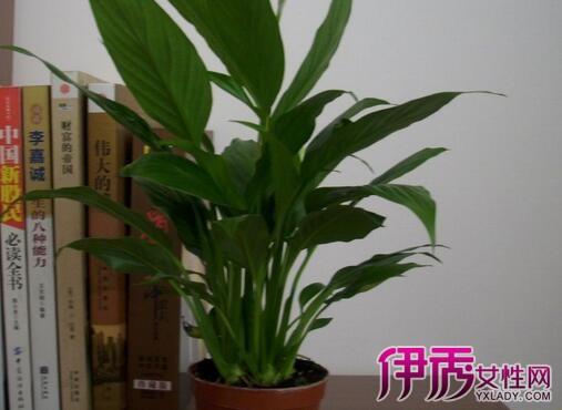 【图】细长叶子盆栽植物图片 为你介绍其中的三种植物