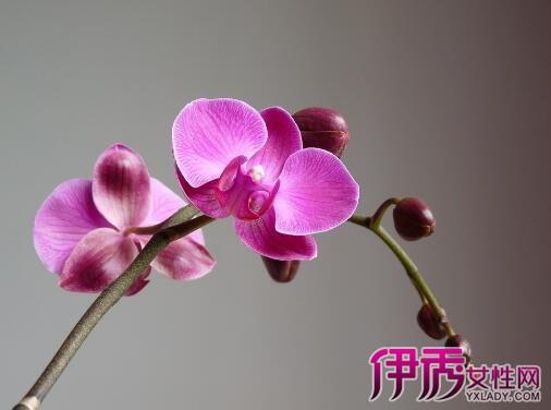 【图】蝴蝶兰养殖注意事项解密 七个步骤教你养好蝴蝶兰