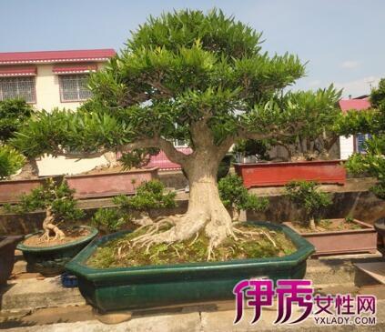 包括广东,广西地区的盆景