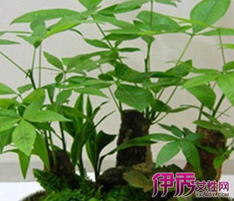 【小发财树叶子发黄怎么办】【图】小发财树叶子发黄
