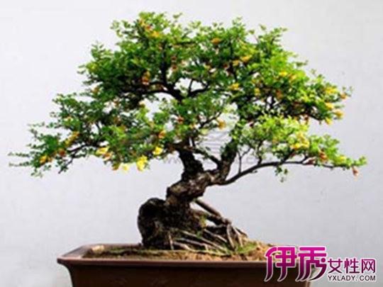 【榕树盆景怎么养出苔藓】【图】榕树盆景怎么养出?