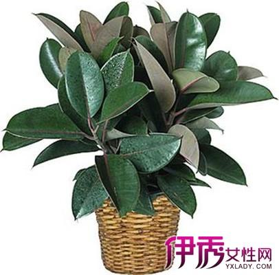 橡皮树:常绿木本观叶植物.