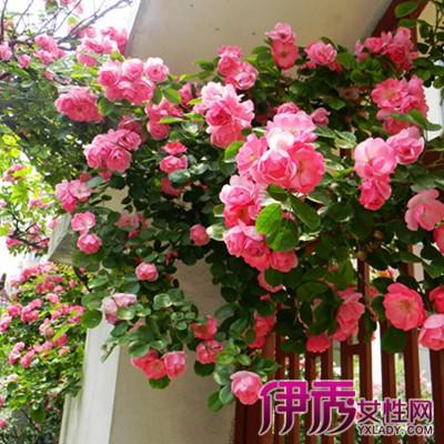 【图】阳台爬藤类植物有哪些 推荐4种常见的的藤本植物