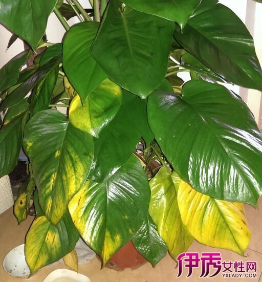 【图】大绿萝叶子发黄是什么原因 几个小妙招不得不知