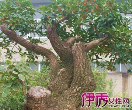 【图】桂花盆栽图片欣赏 十大妙招教你培育桂花盆景