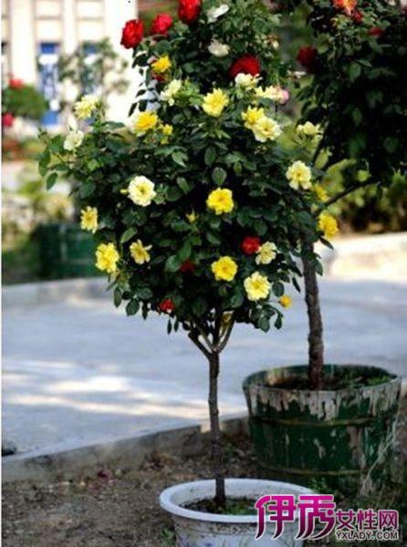 月季嫁接砧木有哪些方法 月季的4种嫁接方法介绍