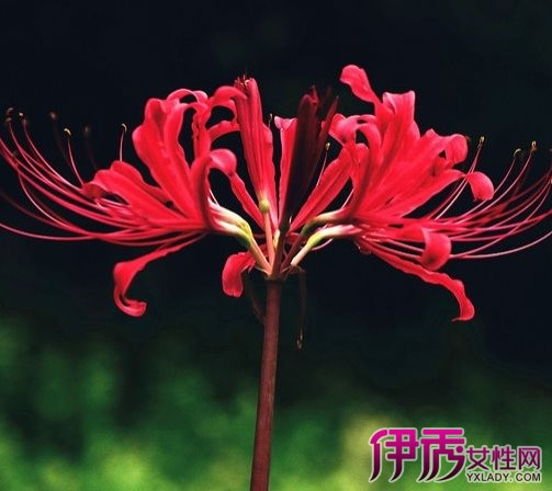 紫曼珠沙华的花语是什么 教你养殖彼岸花的方法
