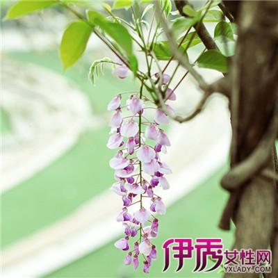 【图】紫藤树几年开花 教你种植浪漫之花